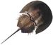 Image: Horseshoe Crab