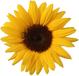 Image: Sunflowers