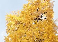 Photo: City Tree Ginkgo Tree