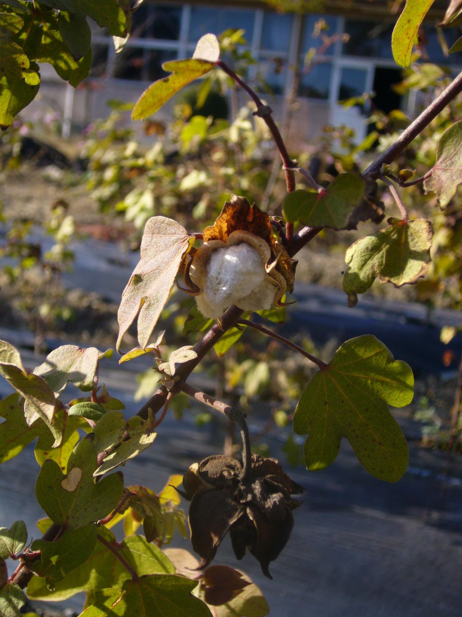 写真:白石島の綿