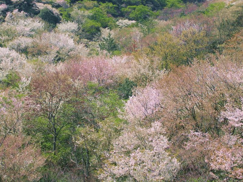 写真:神島外浦の山桜