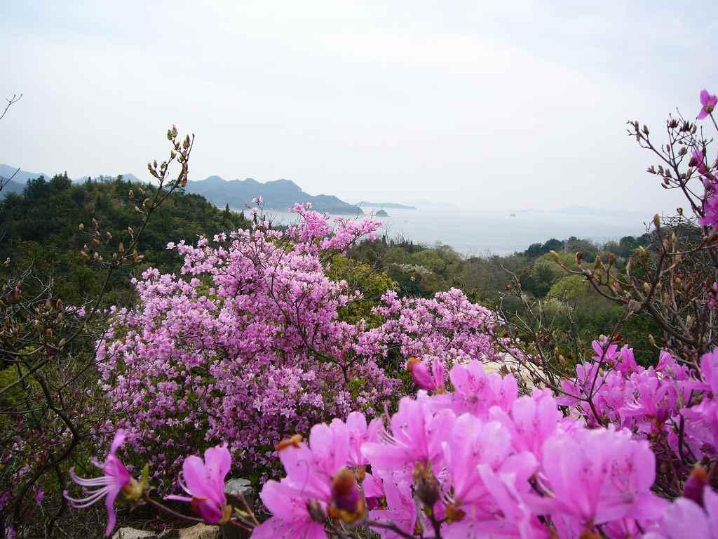 写真:高島のツツジ
