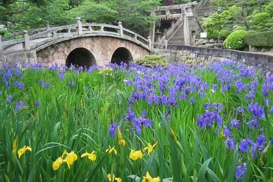 写真:菅原神社の眼鏡橋とカキツバタ