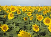 写真:笠岡湾干拓地の花