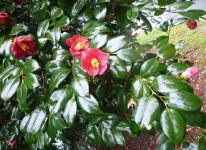 写真:島の春の花を愛でる(飛島・椿、高島・つつじ)